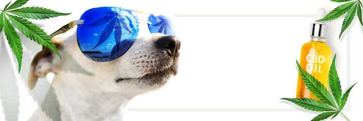 Animal CBD Oil. Concept. Dog in sunglasses, which reflects a leaf cannabis. marijuana. Hemp leaves and bottle CBD Oil