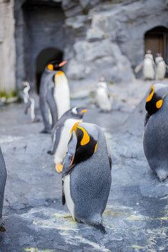 King penguins in Asahiyama zoo, Asahikawa, Hokkaido, Japan.