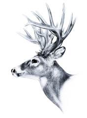big buck, huge white tail deer, big male buck trophy antlers, buck illustration hand drawn sketch isolated on white background, hunting season, archery sport, wild game hunting, deer wildlife clipart