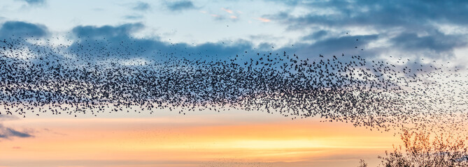 Flock of Starlings in flight