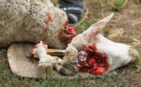 Animal for the Feast of Sacrifice. Muslim Holiday Kurban Bayrami, aid Al Adha