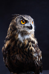 Fotobehang Uil Birds of Prey - Eurasian Eagle Owl