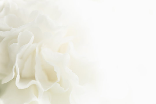 White Abstract Floral Background, Wedding Background, White Carnation Macro Closeup