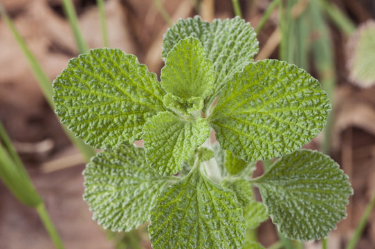 Marrubium vulgare white horehound or common horehound green leaves of this plant with an intense odor and growing in uncultivated land
