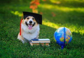 funny student dog puppy Corgi sitting in a garden on green grass with books and globe in black ...