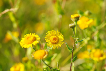 Blooming yellow flowers in meadow in summertime. Beautiful nature - wild yellow flowers in the grass.