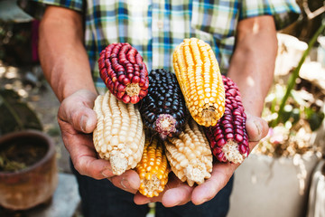 Mexican Corn, maize dried colorful corn cobs on mexican hands in Mexico Fototapete