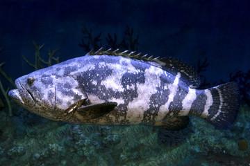 Goliath grouper (Epinephelus itajara) in deep water.