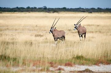 Photo sur Toile Antilope Two southern oryx (Oryx gazella) in Namibia