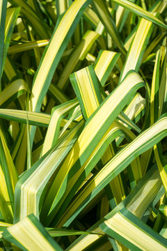 Bright tropical close-up of sunny garden filled with long green and yellow variegated leaves of the chlorophytum comosum spider plant