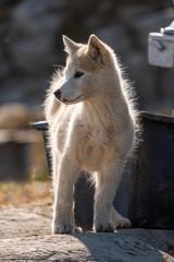 Cute little Greenlandic husky puppy.