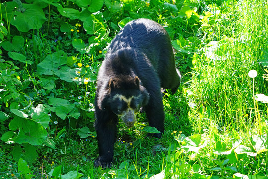 A spectacled bear (Tremarctos ornatus), also known as Andean bear,  Andean short-faced bear, and mountain bear