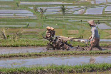 Balinese rice farmer cultivating a rice field  in Jatiluwih rice terraces in Bali Indonesia