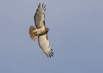 Red-tailed hawk in flight with completely spread wings in blue sky Wall mural