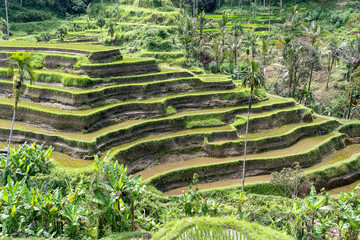 Green rice fields on terraces near Ubud, tropical island Bali, Indonesia . Nature concept