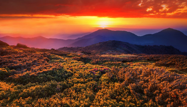 amazing nature sunrise image, scenic morning dawn view on meadow in summer blomming pink flowers on background mountains, attractive floral summer landscape, Europe, border Romania and Ukraine