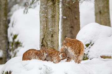 Fotorolgordijn Lynx Eurasian lynx (Lynx lynx) family, mother with two kittens, in the snow in the animal enclosure in the Bavarian Forest National Park, Bavaria, Germany.