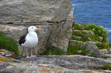 Seagull (goéland marin), larus marinus. Ouessant island, France