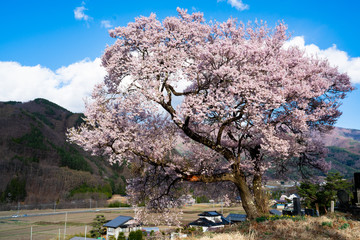 桜 高遠町 / Sakura
