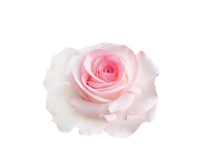 Close up single sweet pink rose flowers head blooming isolated on white background with clipping path , beautiful natural patterns