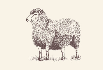 Sheep, Lamb silhouette for print, poster for Butchery meat shop, Isolated vector hand-drawn sheep, grey background
