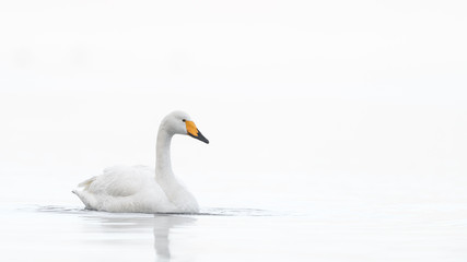 whooper swan in a white fog background portrait