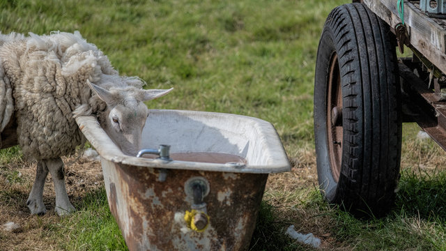 Sheep drinking water from an old bath in a flield beside the wheel of a tractor trailer