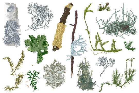 Hand drawn mosses and lichens
