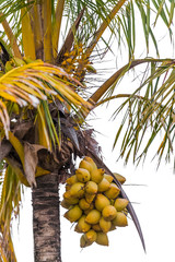 coconuts on a tree