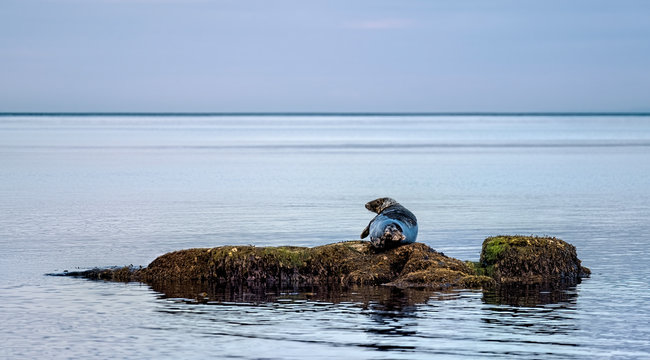 Grey seal bull lounging on a seaweed covered rock on a calm day in the Moray Firth near Brora in the Highlands of Scotland