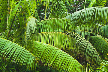Wall Mural - Palm tree leaves, tropical background photo