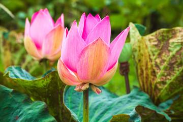 Wall Mural - Bright pink waterlily buds. Lotus flowers