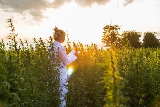 Scientist observing CBD hemp plants on marijuana field and taking notes
