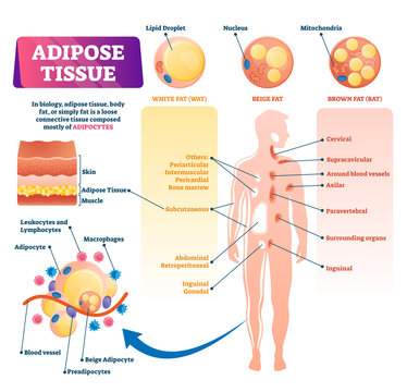Adipose tissue vector illustration. Labeled medical body fat explain scheme