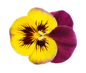 Pansy flower isolated on white background. Flat lay, top view