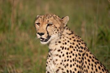 close up portrait picture of a cheetah