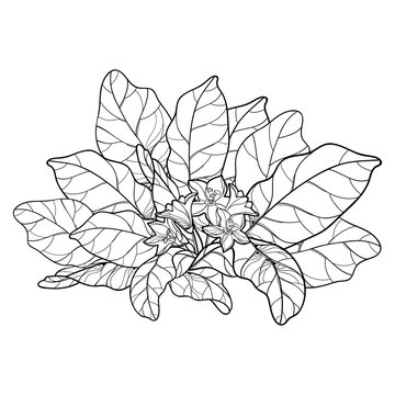 Outline Mandragora officinarum or Mediterranean mandrake leaf bunch with flower in black isolated on white background.