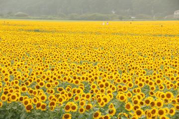 栃木県益子町 ひまわり畑