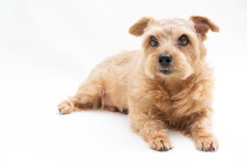 ノーフォークテリア 犬