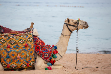 Muzzle camel near red sea on the beach in Sharm el Sheikh, close up. Animal in Egypt