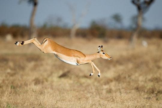 Africa, Botswana, Chobe National Park, Impala (Aepyceros Melampus) leaping over tall grass in Savuti Marsh in Okavango Delta