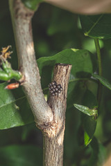 Several butterfly eggs with dark color sticked to twig