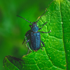 Nice big bug with blue color perched on green leaf