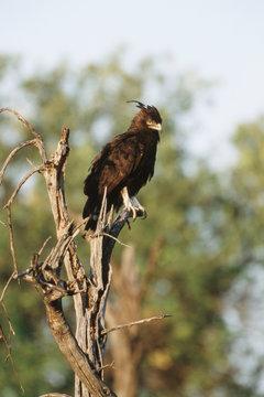 Kenya, Maasai Mara National Reserve, Long-crested Eagle (Lophaetus Occipitalis)