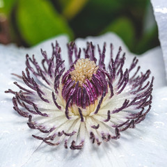 Center of white bloom with purple pistils covered by water drops