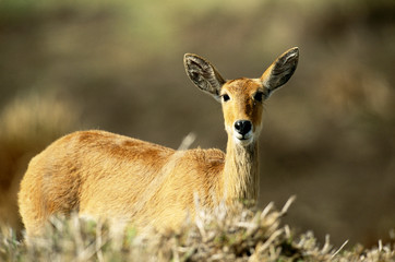 Kenya, Portrait of Reedbuck in Maasai Mara National Reserve