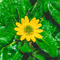 Small yellow bloom with green center among several wet leaves