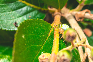 Nice green spider with dots on body sitting on green leaf