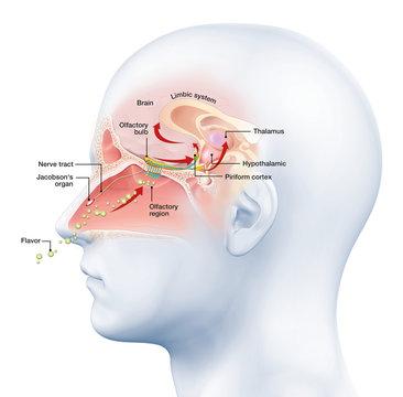 Olfactory sense, medically 3D illustration