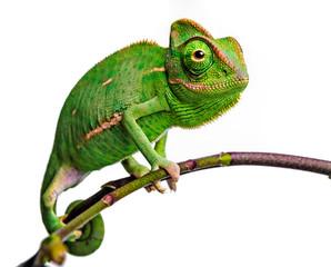 Deurstickers Kameleon green chameleon - Chamaeleo calyptratus